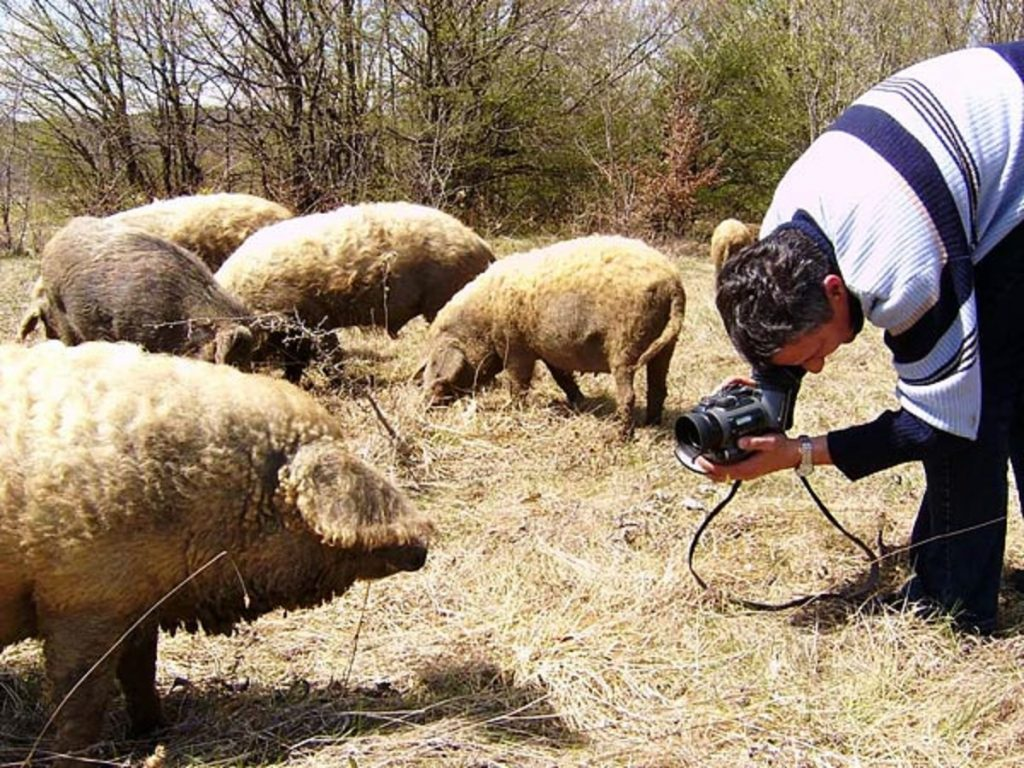 This image has an empty alt attribute; its file name is Mangalitza-NO-2-1024x768.jpg